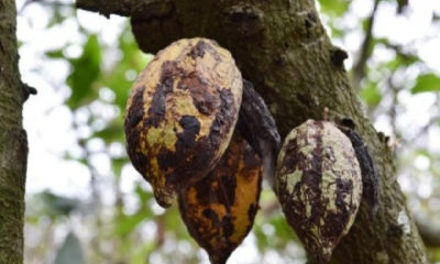 Swollen shoot virus affects 315,800 hectares of cocoa farms